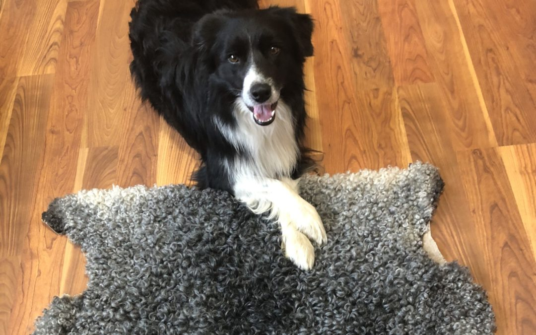 Låt hunden och katten få ligga på fårskinn
