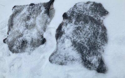 Torr snö gör lammskinnen rena och fina igen